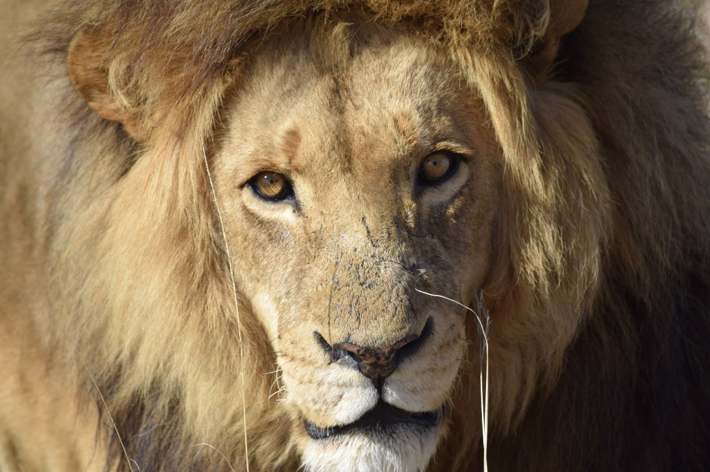Close-up photograph of the face of a lion.