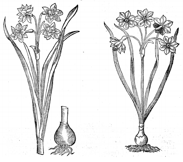A black and white illustration of daffodils
