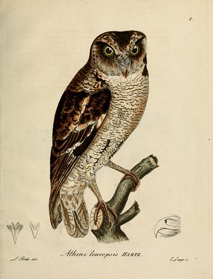 Image of a Scops Owl, from the Biodiversity Heritage Library