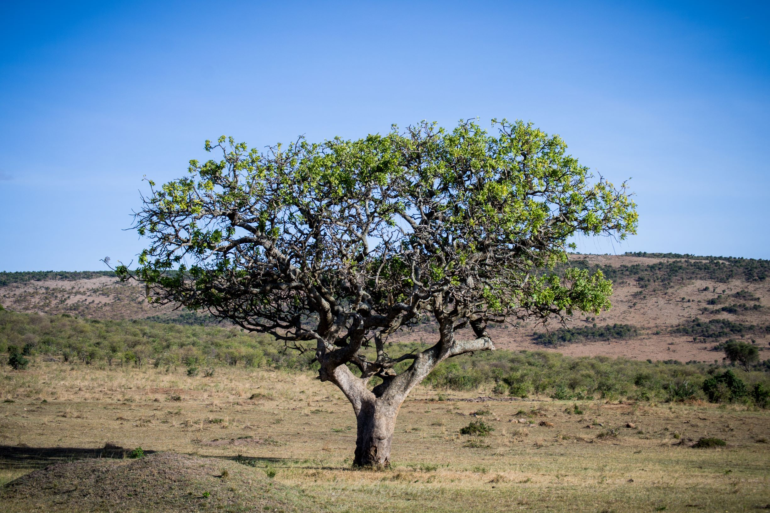 Landscape of Kenya with a Tree
