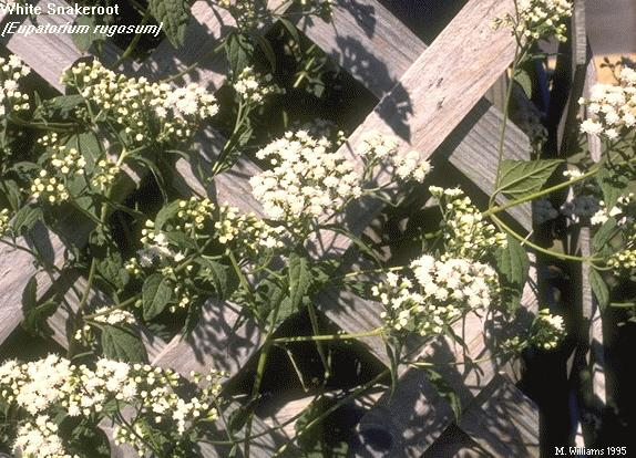 Snakeroot with Flowers