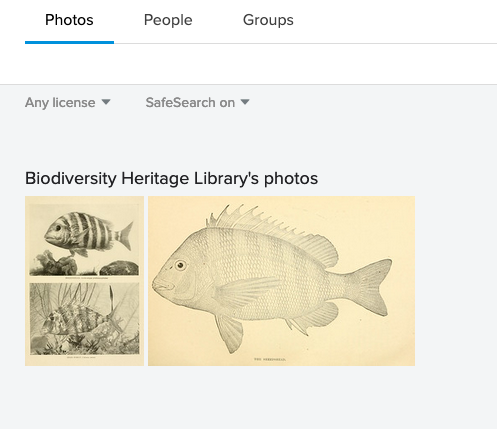 BDHL Flickr Sheepshead search results