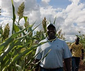Assessing Sweet Sorghum for Biofuel Production