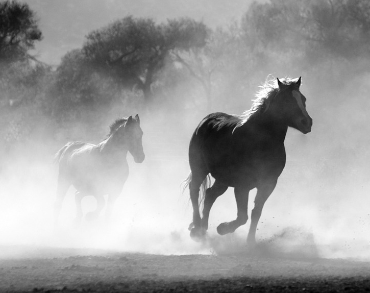 Black and white photograph of two wild horses running.