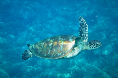 turtle swimming in the ocean