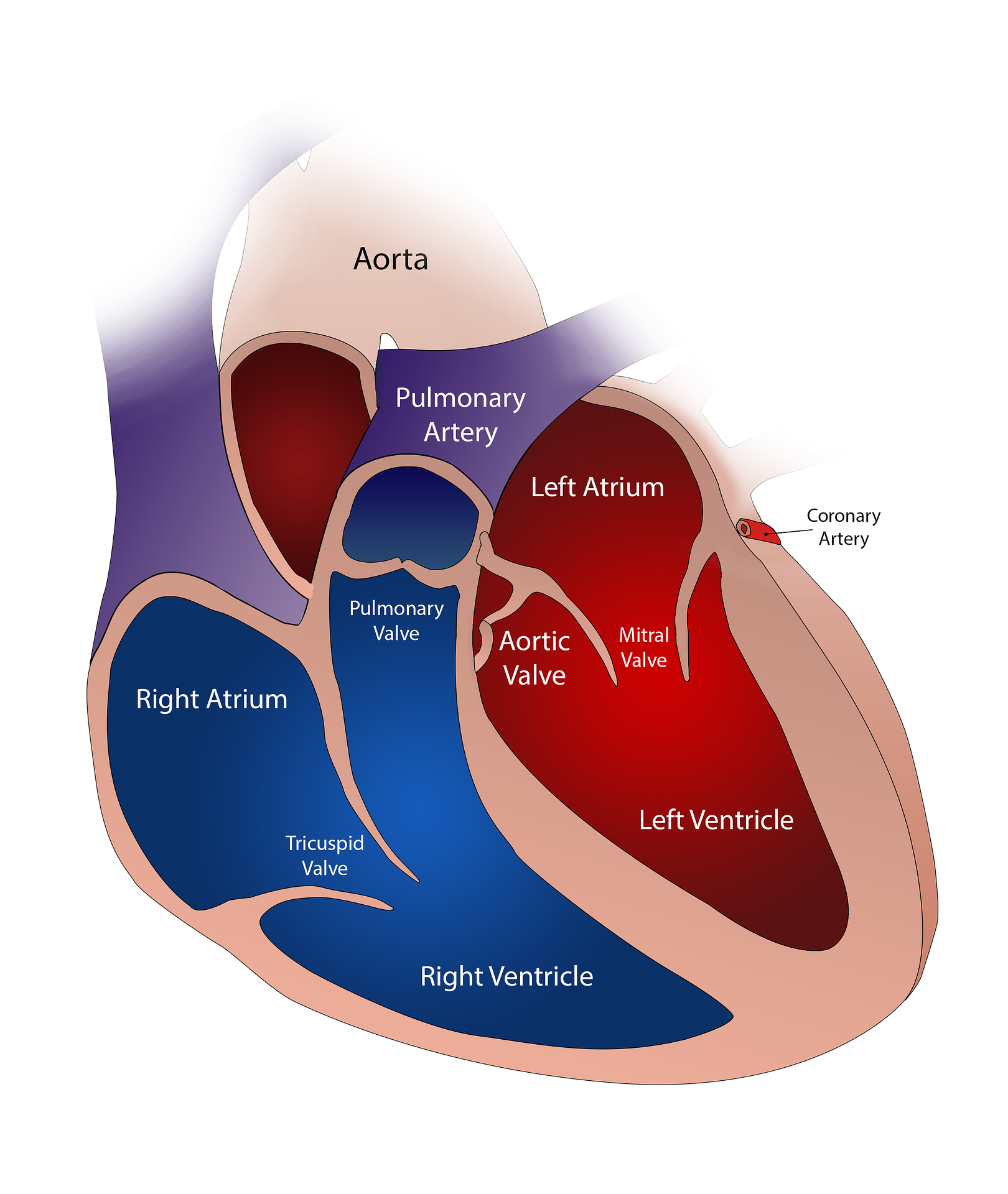 Drawing of human heart and the different anatomical parts.
