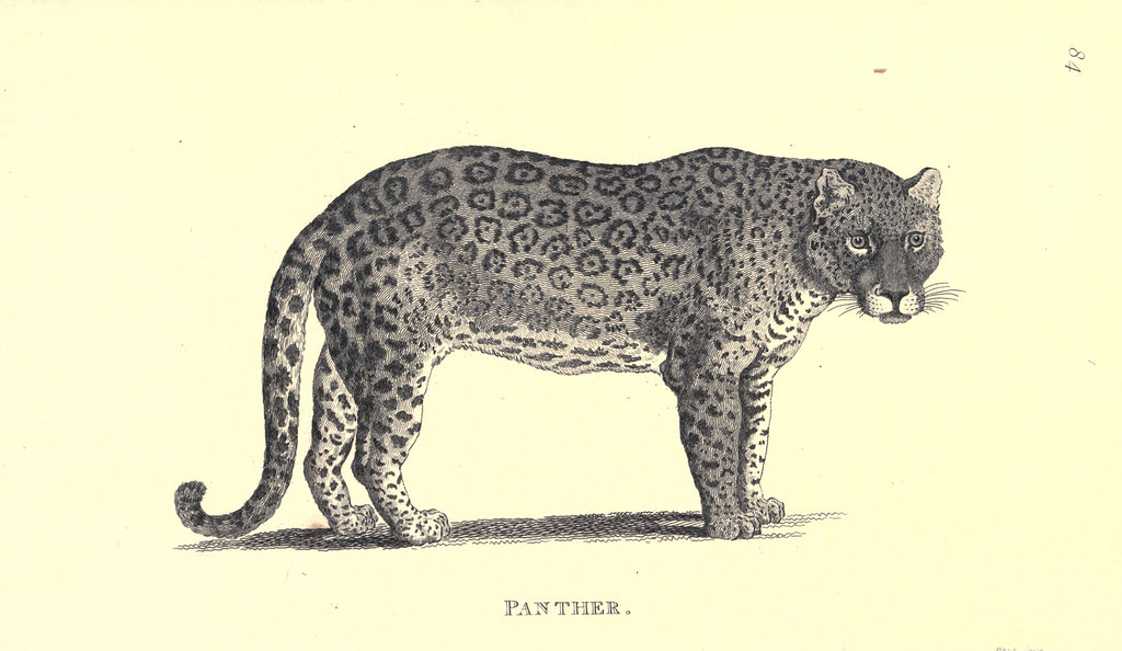 drawing of a panther