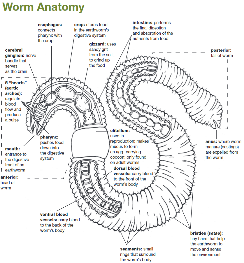 Illustration of the anatomy of a worm