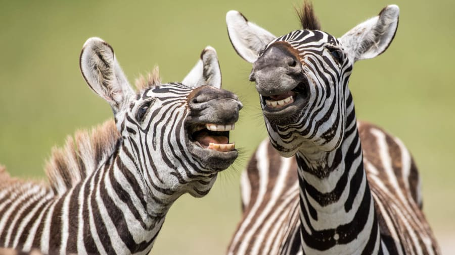 zebras laughing