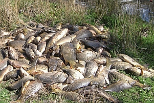 Carp Plague in Murray River image