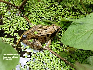 Frog in Restored Pond image