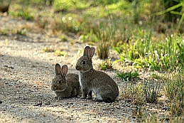 Introduced Pair of Rabbits image