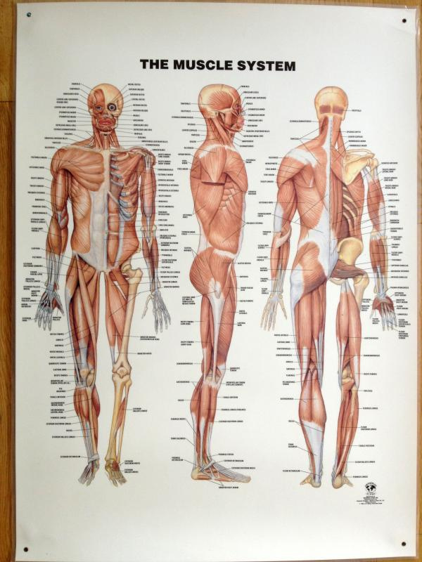 Anatomical poster showing muscles of human body