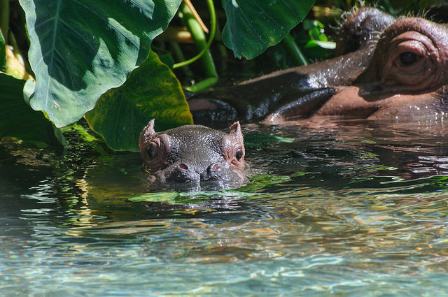 Hippo calf and mother, San Diego Zoo