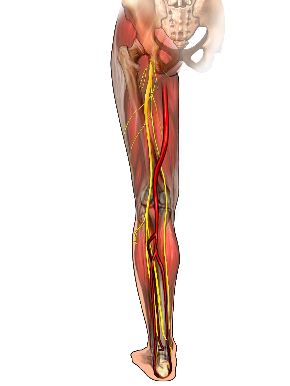 anatomy illustration of leg