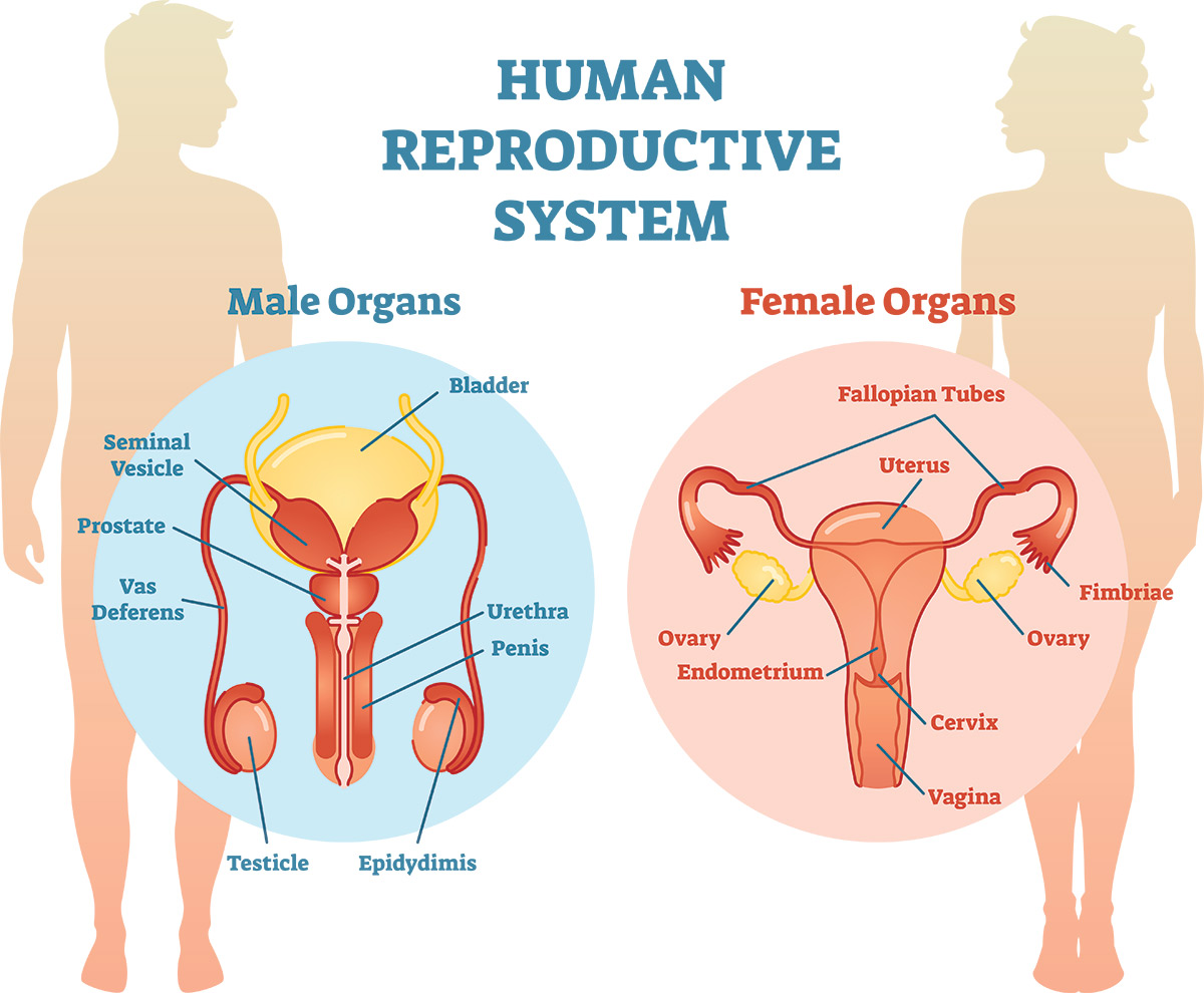 reproductive system diagram