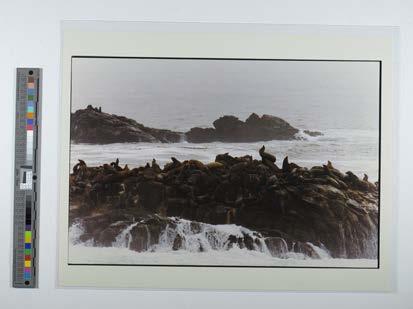 Seals at Point Lobos, CA