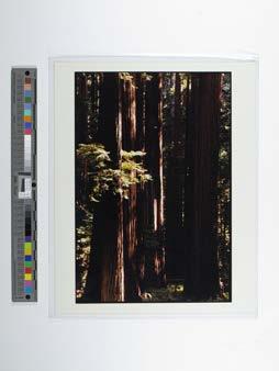 Rockefeller Redwoods