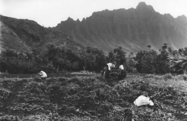 Sweet Potato Farming in Waikāne Valley, 1973, Ed Greevy.