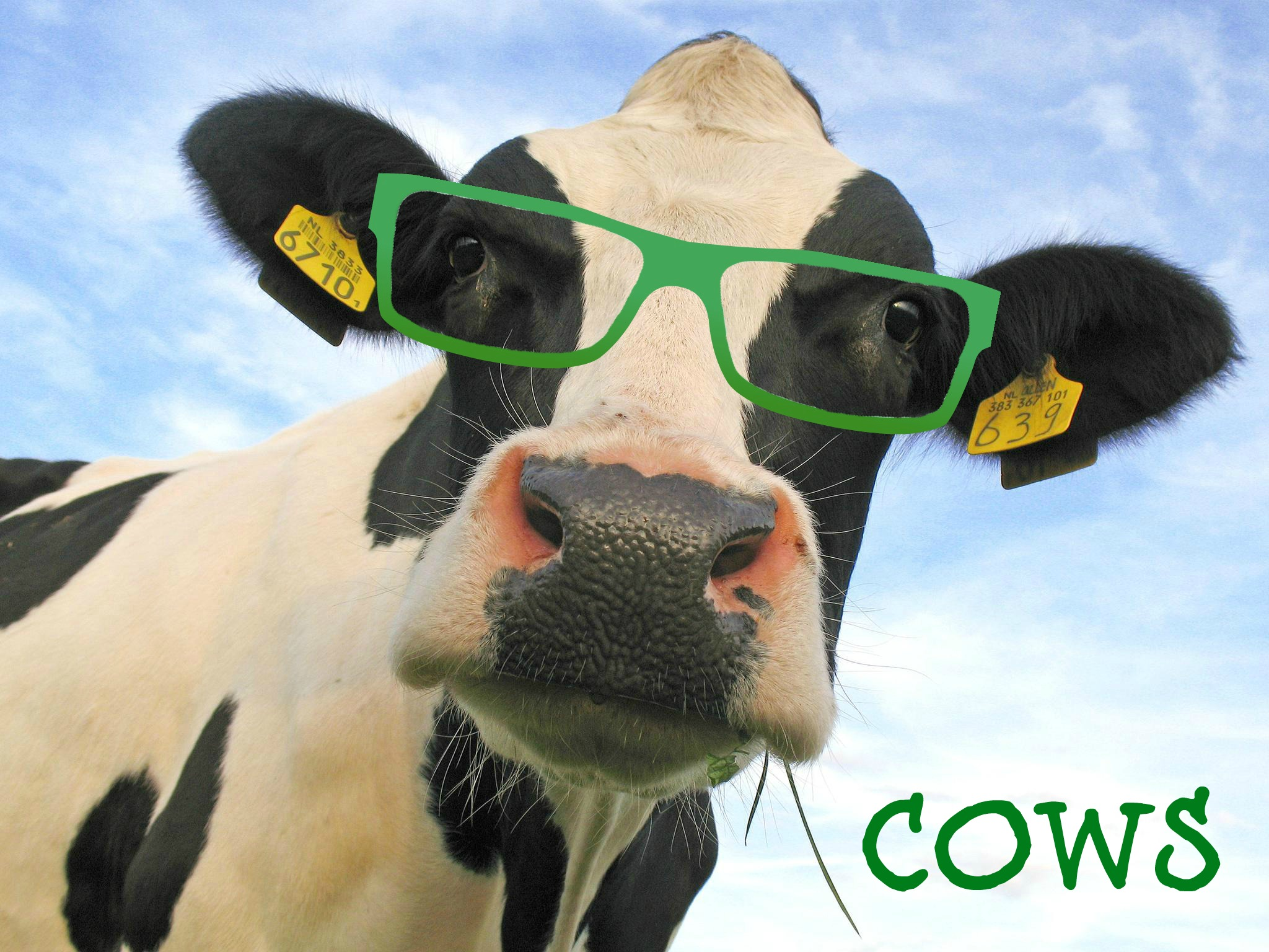 Cow wearing glasses