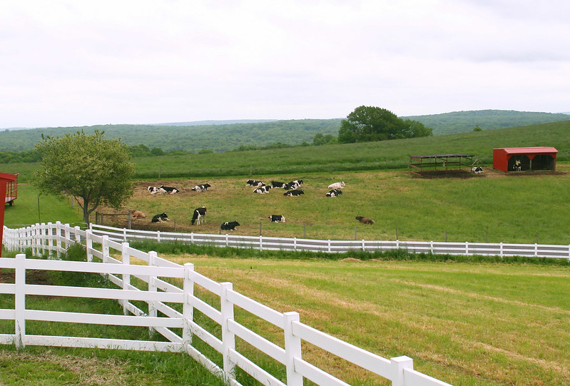 Fences and cows on Horsebarn Hill