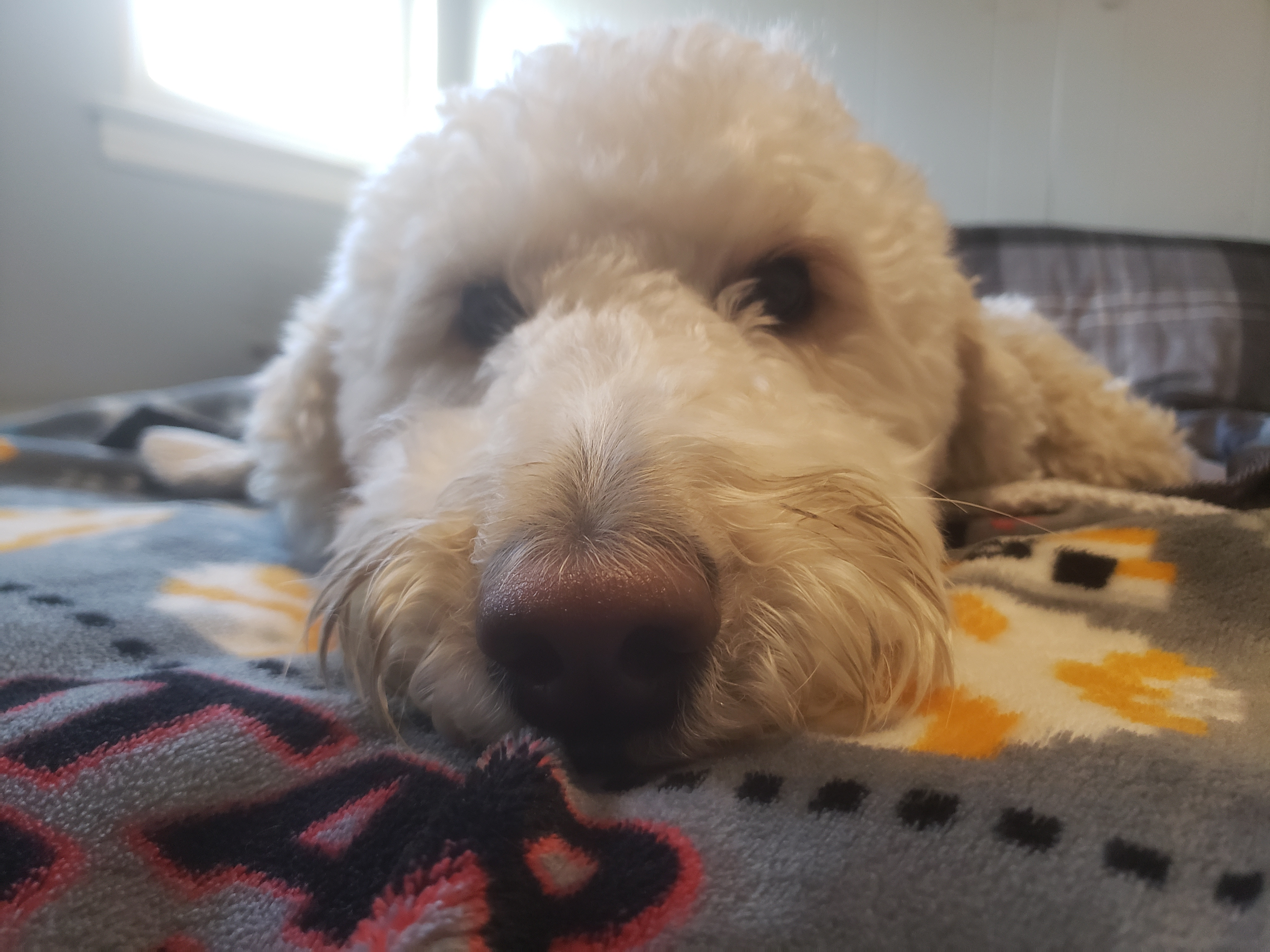 Picture of Millie the goldendoodle