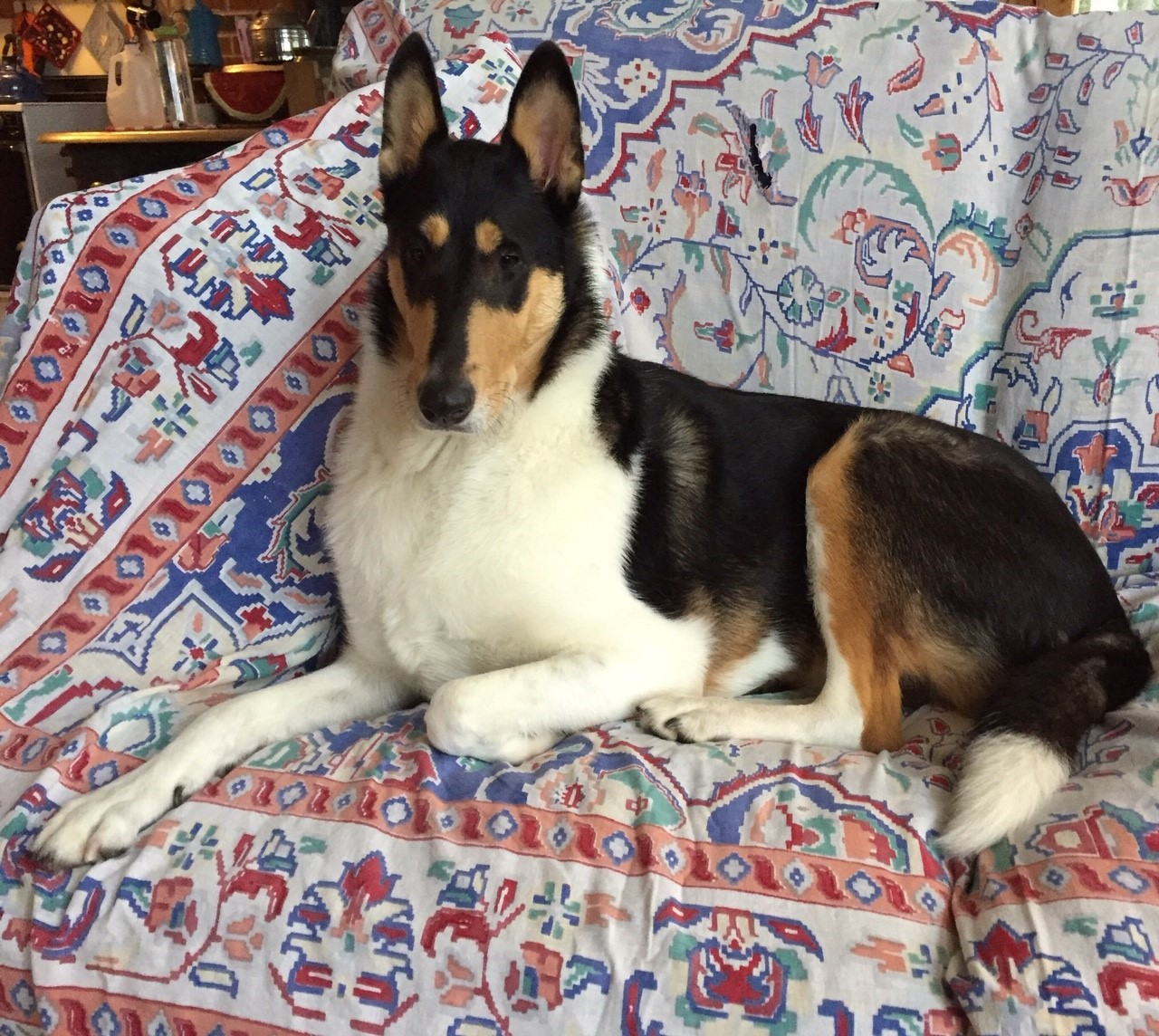 Photo of Pearl, a smooth collie