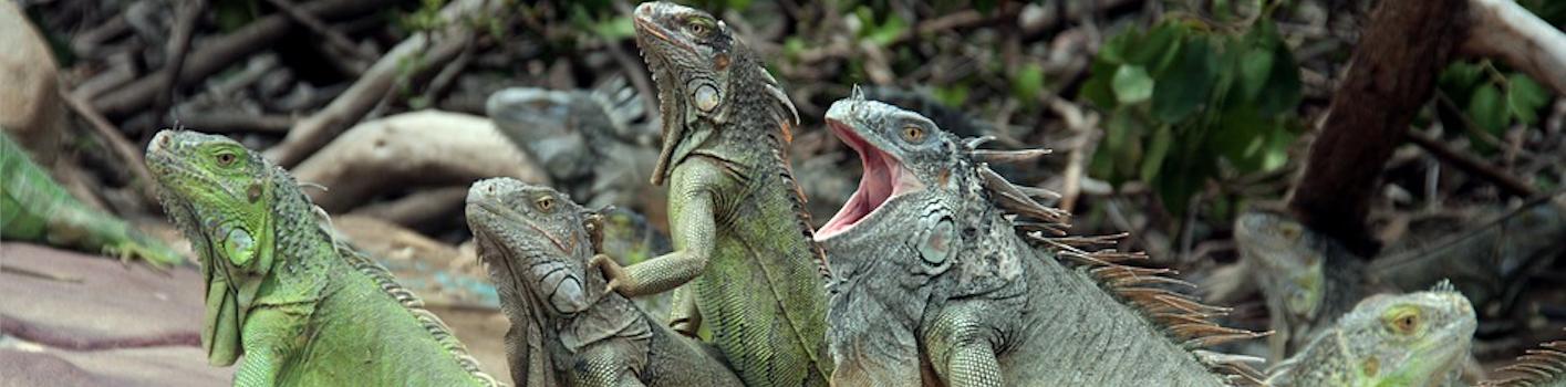 Green Iguanas Edited Pixabay Photo