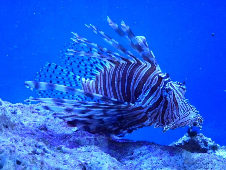 Lionfish in Key Largo via Pixabay CC