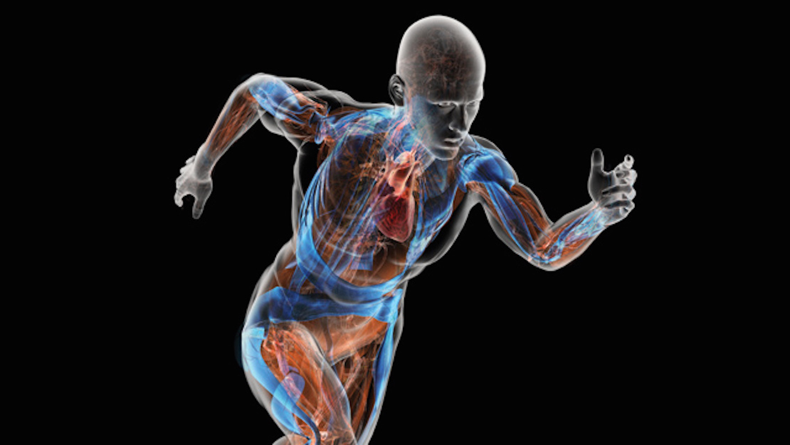 human anatomy and physiology transparent human running showing animated blue and red internal organs with black background