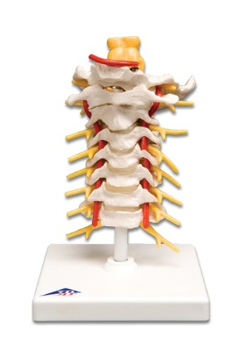 Cervical Human Spinal Cord Column
