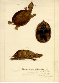 Drawings of Ozotheca Odorata