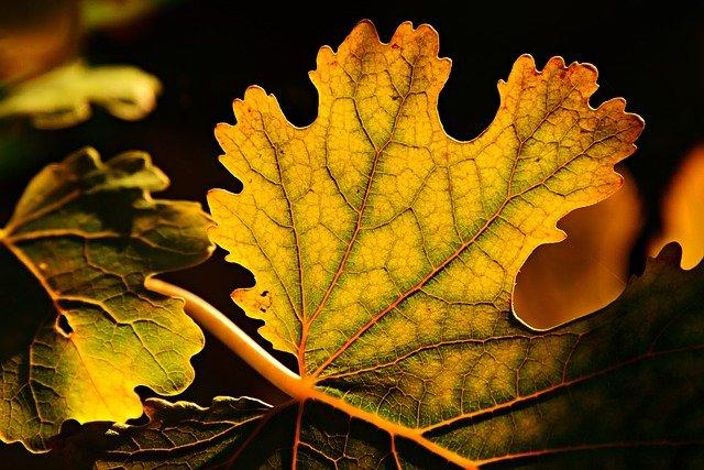 image of maple leaf turning yellow
