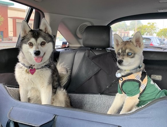 Two dogs sitting in the back of a car