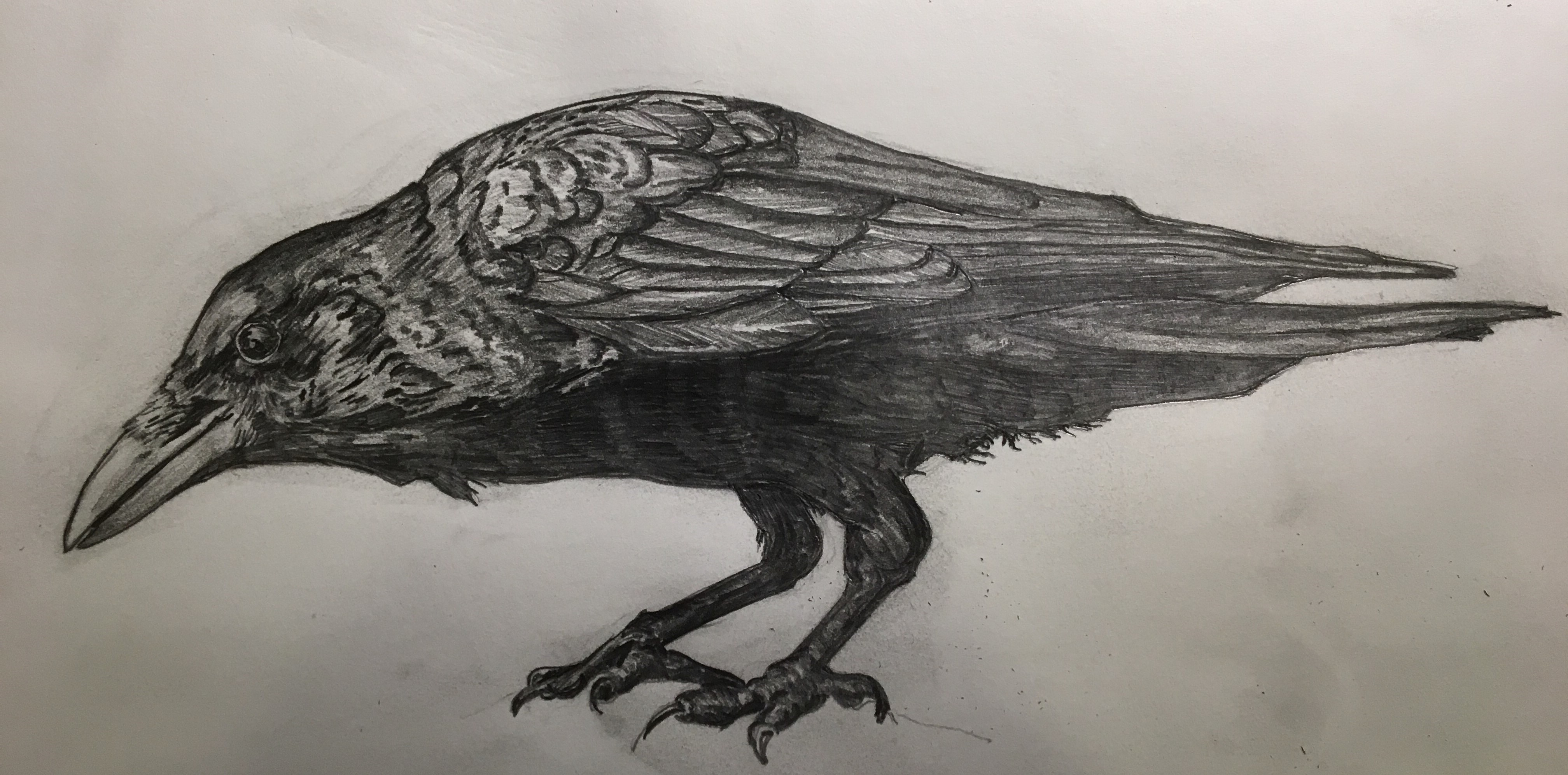 Sketch of Common Raven by Todd White