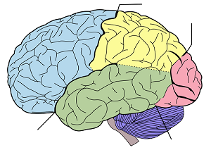 Brain in color for different sections.