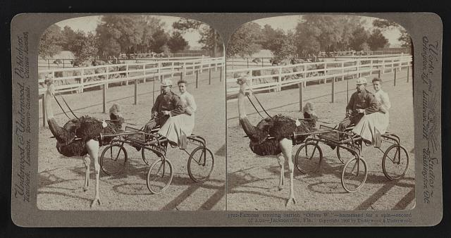 picture of an ostrich harnessed to a carriage