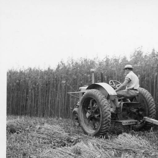 Photo of man on tractor in Hemp field from 1930s