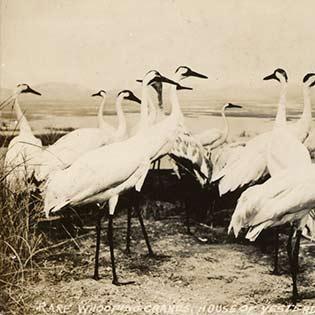Florida Whooping Cranes by Robert Porter Allen