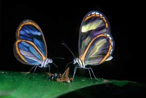 photo of two butterflies, one blue and one yellow