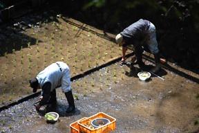 Planting Wasabi at Joren Falls