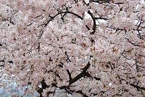 Sakura at Hikone Castle