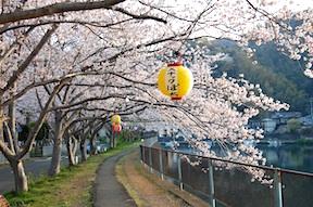 Inozawa River sakura