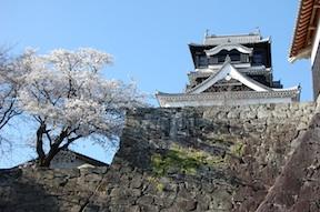 kumamoto castle with sakura