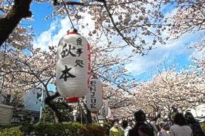 Sakura along Dankazura Avenue