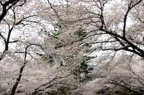 Sakura at Odawara Castle