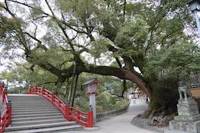 dazaifu tree