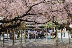 Miyajidake sakura