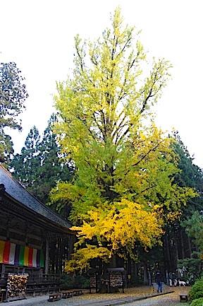 Akiu shrine gingko