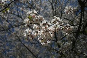 daigo sakura